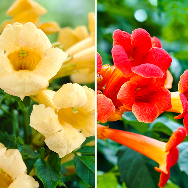Pair of Campsis Trumpet Vines Red and Yellow 2L Pots on 55cm canes No Colour