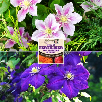 Pair of Pink and Blue Clematis 2L Pots on Trellis with 50g Fertiliser