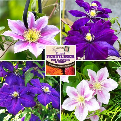 Set of 4 Pink and Blue Clematis 2L Pots on Trellis with 50g Fertiliser