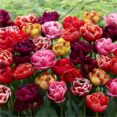 Paeony Flowered Double Tulip Bulbs (20 Pack)