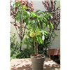 Ice Peach Tree 3L Pot 60cm Tall - New White Flesh & Skin Peach