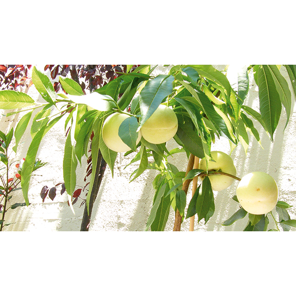 Ice Peach Tree 3L Pot 60cm Tall - New White Flesh and Skin Peach No Colour