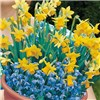 Pair of Narcissi Plant-o-Mat Drop-in Bulb Planters with Decorative Pots