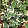 Pair 1M Tall Variegated Ivy Climbersf For Screening 1M tall 2L Pot