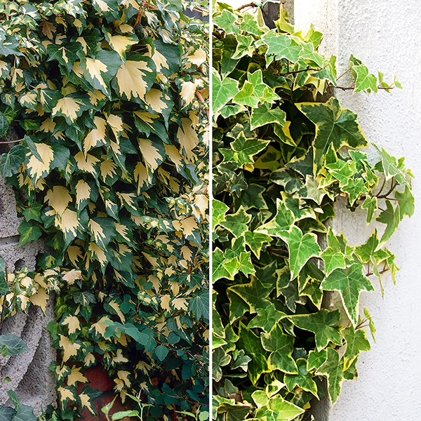 Pair 1M Tall Variegated Ivy Climbersf For Screening 1M tall 2L Pot No Colour