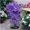 Pair of Tower Pots with Pink & Blue Large Flowered Clematis 2L Pots