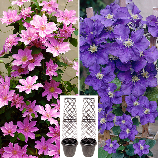 Pair of Tower Pots with Pink and Blue Large Flowered Clematis 2L Pots No Colour