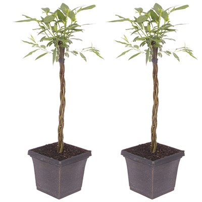 Plaited Living Willow Half Standards 3L Metallic Pots 60cm Tall (Pair)