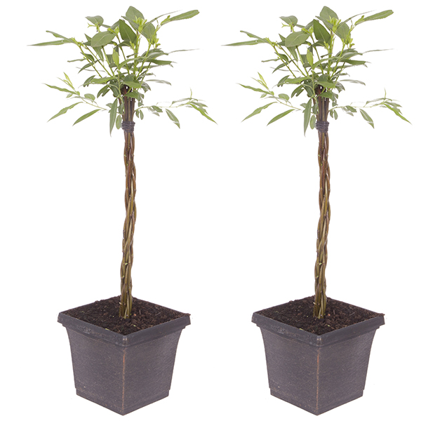 Plaited Living Willow Half Standards 3L Metallic Pots 60cm Tall (Pair) No Colour