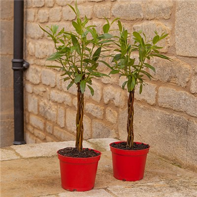 Pair Plaited Living Willow Bonsai Standards 1L Pots 25cm Tall