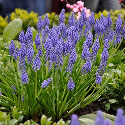 Muscari armeniacum Blue 50 Bulbs