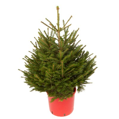 Living Norway Spruce Christmas Tree in Pot with Hardy Guarantee