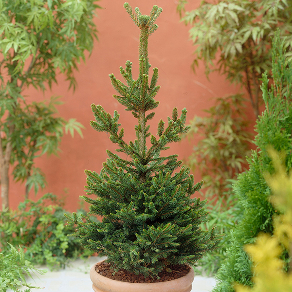 Grow Your Own Christmas Tree Nordmann Fir 1l Pot 439511