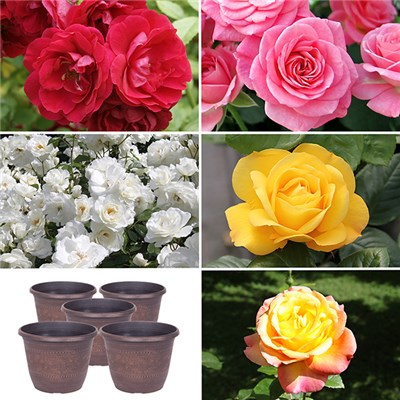 5 Garden Glamour Rose Bushes and 5 Copper Planters