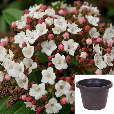 Winter Viburnum Tinus Standard 90cm Tall with Planter