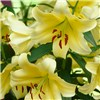 Premium Skyscraper Lilies x  3 each 5 colours