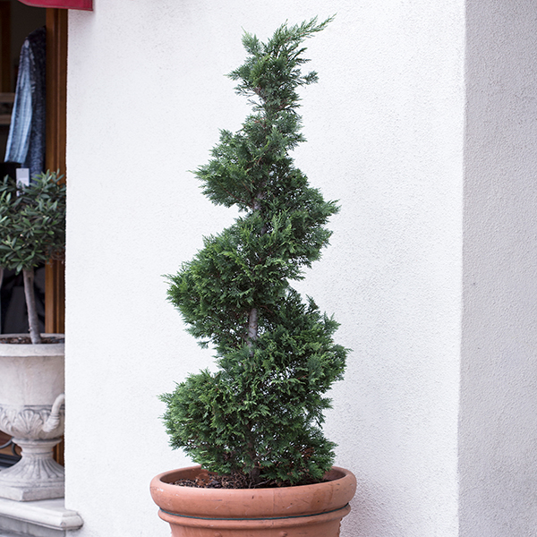 Spiral Topiary Cupressus 'Goldcrest' 1m (3.3ft) Tall in 10L Pot No Colour