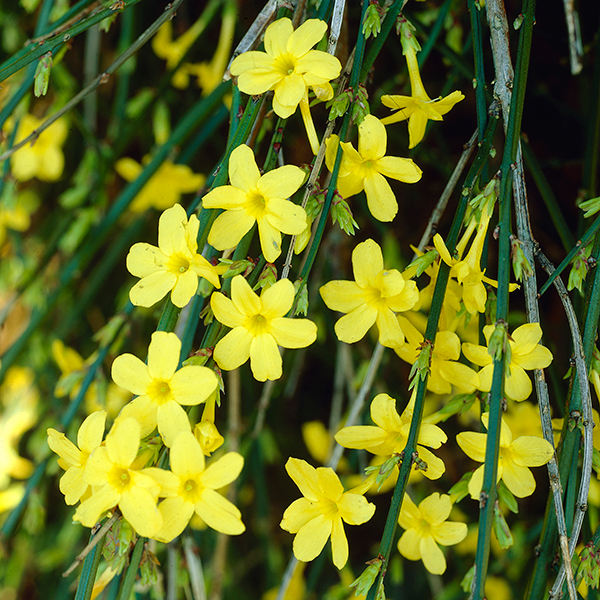 Image of Fragrant Winter Jasmine nudiflorum 2L Pot 60-70cm Tall 442394