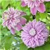 Raymond Evison Double Ruffled clematis collection 3 x 7cm