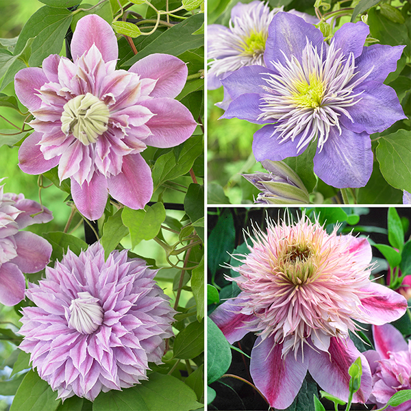 Image of Raymond Evison 'Double Ruffled' Clematis Collection 3 x 7cm Pots