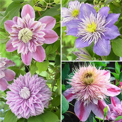 Raymond Evison 'Double Ruffled' Clematis Collection 3 x 7cm Pots