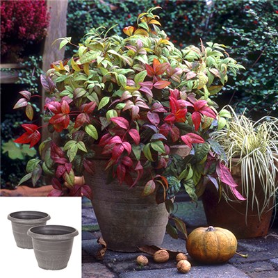 Pair of Nandina 'Sacred Bamboo' with Pair of Valencia Metallic Pots