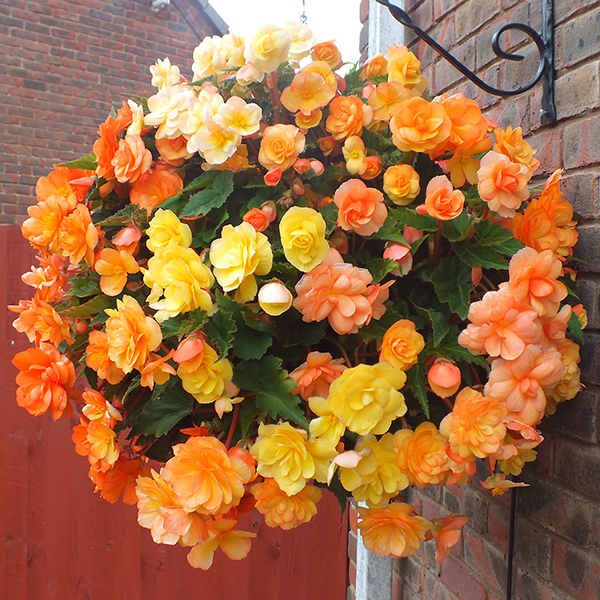 Begonia 'Apricot Shades' Tubers (20 Pack) No Colour