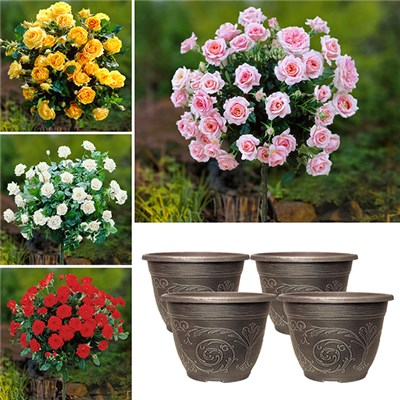 Patio Standard Rose Collection with 4 x Decorative Pots