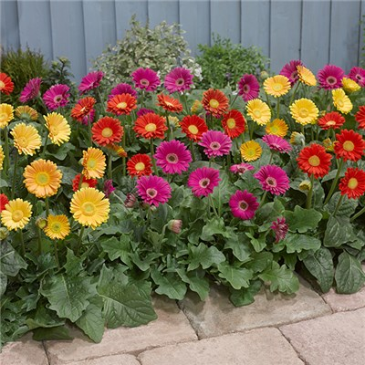Set of 3 Hardy Gerbera Garvinea in 7cm Pots