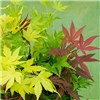 Japanese Acer palmatum Festival 3-in-1 Mix 3L Pot