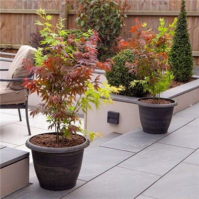 Japanese Acer Palmatum 'Festival' 3-in-1 Mix 3L Pot