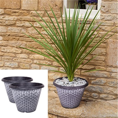 Pair 55-60cm Cordylines plus 2 x 12inch Wicker Planters