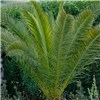 Pair Phoenix palms 80-100cm tall