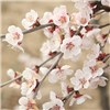 Japanese Cherry Blossom Tree Prunus Kojo-No-Mai 2L Pot