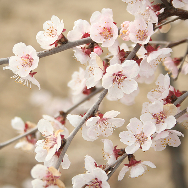 Japanese Cherry Blossom Tree Prunus 'Kojo-No-Mai' 2L Pot No Colour