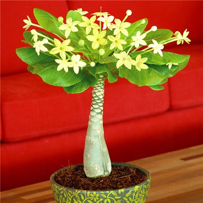 Brighamia Insignis 'Hawaiian Palm' in 12cm Pot