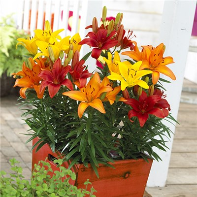Carpet Lilies - 10 double nosed bulbs