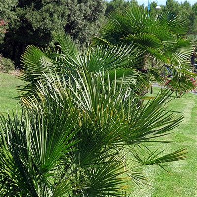 Hardy Fan Palm 'Chamaerops Humilis' 60-80cm in  5L Pot