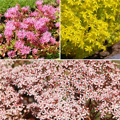 Sedum alpine collection 6 plants in 7cm pots