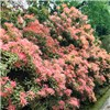 Pieris collection - 5 x evergreen shrubs in 1L