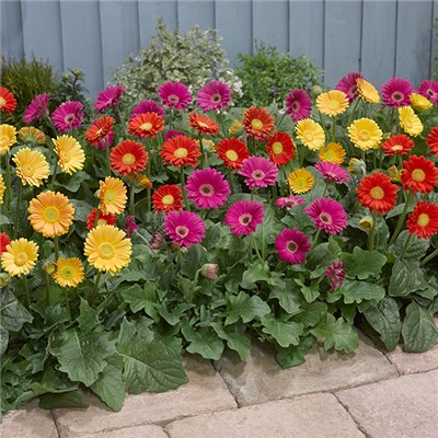4 Bright Gerbera Garvinea 7cm and 4 Bright & Bold Planters