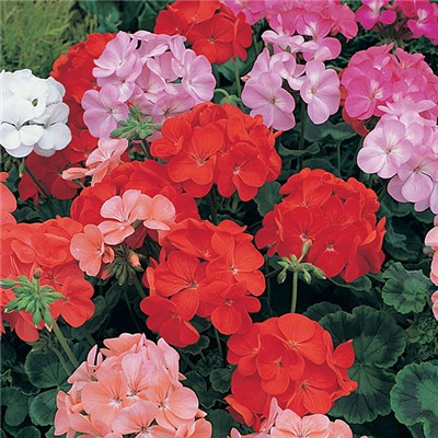 Geranium 'Cabaret' Mixed Garden Ready Plants (20 Pack)