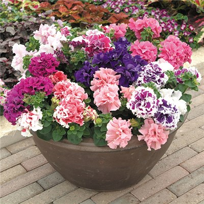 Petunia Duo Double Mix 20 x Garden Ready Plants