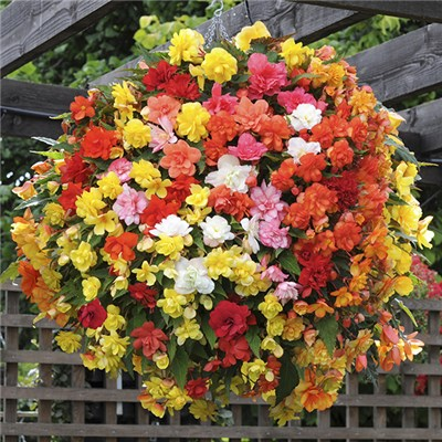 Begonia 'Super Cascade' Mix 20 x Garden Ready Plants