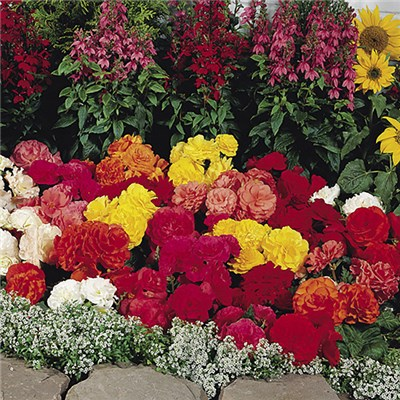 Begonia Non Stop Mix Garden Ready Plants (20 Pack)