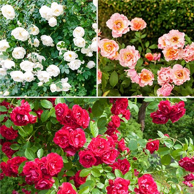 Easy Care Groundcover Rose Bundle x 6 Bare Root Bushes