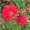 Calliandra Surinamensis Dixie Pink 80-100cm Standard in 3L Pot