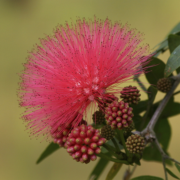 Calliandra Surinamensis 'Dixie Pink' 80-100cm Standard 3L Pot No Colour