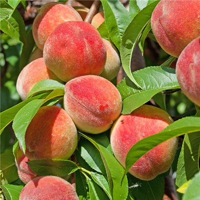Peach Redhaven Bare Root Fruit Tree