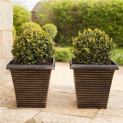 Pair of Box Buxus Balls 25cm with FREE Pair of Tapered Planters